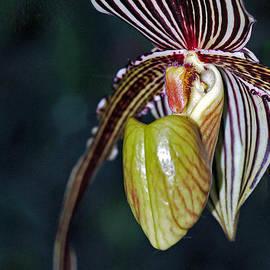 Winston D Munnings - Paphiopedilum Orchid