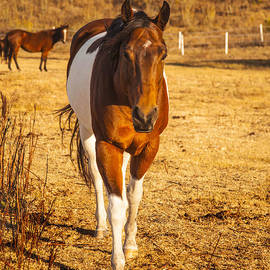 Jerry Cowart - Painted Horse Brown and White Aquarterian Fine Art Photography Print With Tobiano Pattern