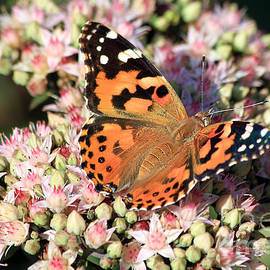 Teresa Zieba - Painted Lady Butterfly