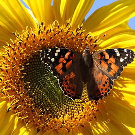 Angie Vogel - Painted Lady on Sunflower