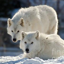 Les Palenik - Pair of arctic wolves