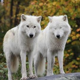 Vicki Spindler - Pair of Arctic Wolves