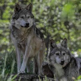 Ernie Echols - Pair of Wolves