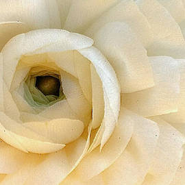 Lori Pessin Lafargue - Pale Petals of Purity
