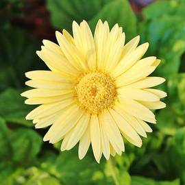 Cynthia Guinn - Pale Yellow Daisy