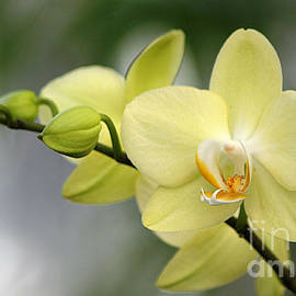 Living Color Photography Lorraine Lynch - Pale Yellow Orchid