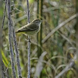 Dawn Currie - Palm Warbler II