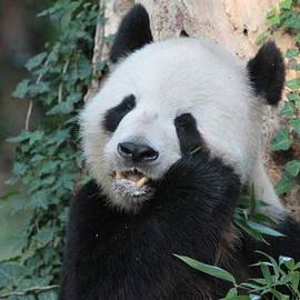 Dwight Cook - Pandas