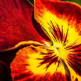 Alexander Senin - Pansy Flower 5