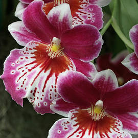 Allen Beatty - Pansy Orchid 2