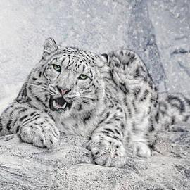 Joachim G Pinkawa - Panthera Uncia