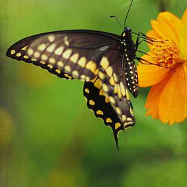 Darren Fisher - Papilio polyxenes