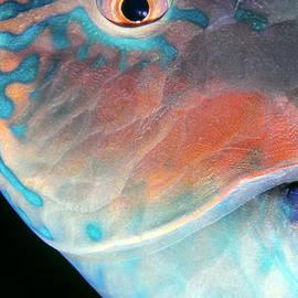 Dawn Eshelman - Parrotfish 2