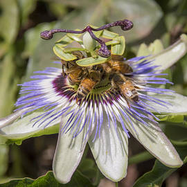 Bruce Frye - Passiflora with Bees