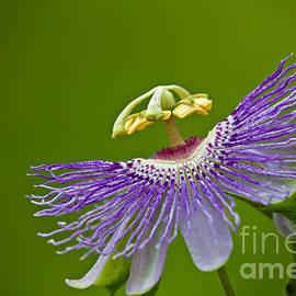 Joan McCool - Passion Flower