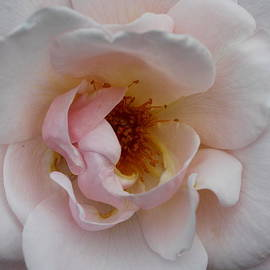 Christiane Schulze Art And Photography - Pastel Pink Rose