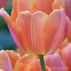 Kathleen Struckle - Pastel Tulip