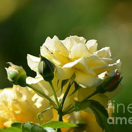 DejaVu Designs - Pastel Yellow Roses
