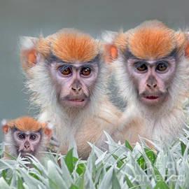 Jim Fitzpatrick - Patas Monkeys