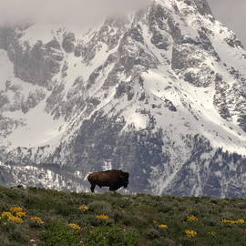 Dan Sproul - Bison On The Range In Wyoming