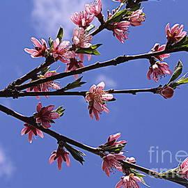 Photographic Art and Design by Dora Sofia Caputo - Peach Blossoms and  Blue Skies