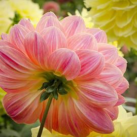 Carolyn Eaton - Peach Dahlia Flower