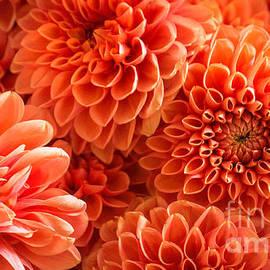 Arlene Carmel - Peach Dahlias