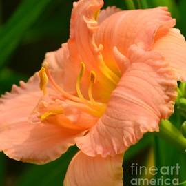 Kathleen Struckle - Peach Day Lilly