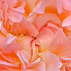 Regina Geoghan - Peach Ruffled Rose
