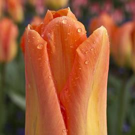 Priya Ghose - Peach Tulip