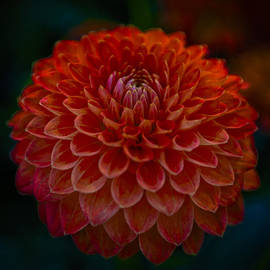Maj Seda - Peachy Orange Dahlia