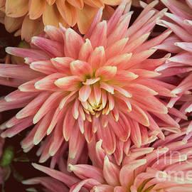 Arlene Carmel - Peachy Pink Dahlia