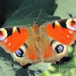 Halyna  Yarova - Peacock Butterfly