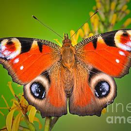 Marco Fischer - Peacock Butterfly