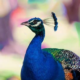 Jenny Rainbow - Peacock I. Bird of Paradise