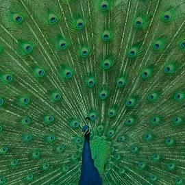 Sheela Ajith - Peacock