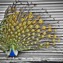 Williams-Cairns Photography LLC - Peacock