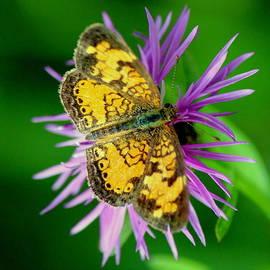 Rosanne Jordan - Pearl Crescent Butterfly