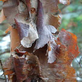 David T Wilkinson - Peeling Birch Bark 2