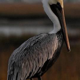 Cheryl Daniels - Pelican at Dusk