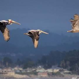 Bob Wall - Pelican Fly-By