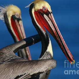 John Tsumas - Pelican Heads