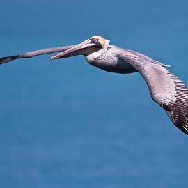 Mr Bennett Kent - Pelican in Flight Florida