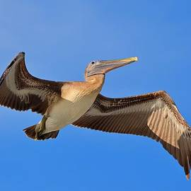Jeff at JSJ Photography - Pelican in Flight with Shadows