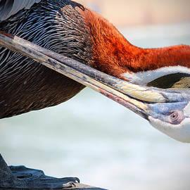 Cynthia Guinn - Pelican Itch
