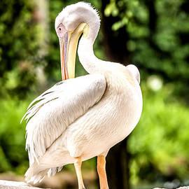 Jijo George - Pelican
