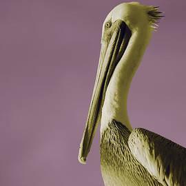 Nicole Swanger - Pelican