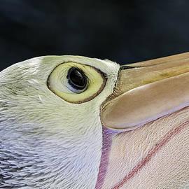 Mr Bennett Kent - Pelican portrait 2