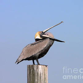 Al Powell Photography USA - Pelican Yawn