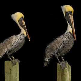 Phil Jensen - Pelicans of the Night